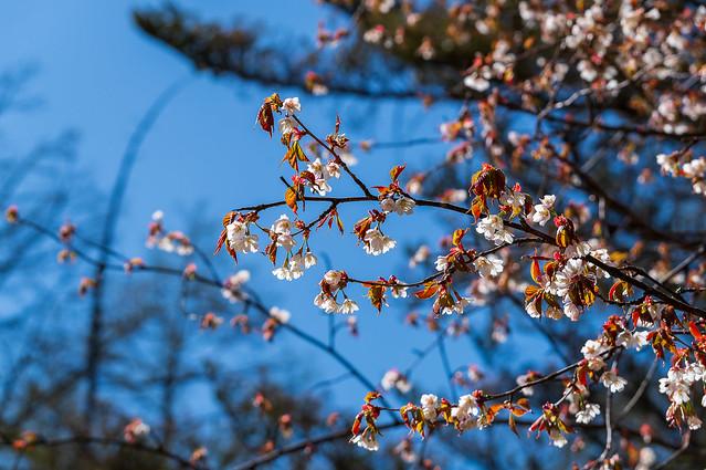 縦走路に咲くヤマザクラ