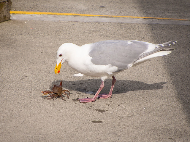 gull versus crab