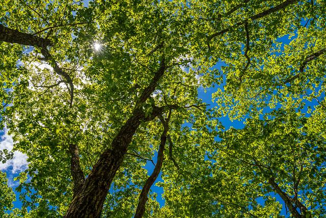 見上げると、緑と青と日差しのシャワー