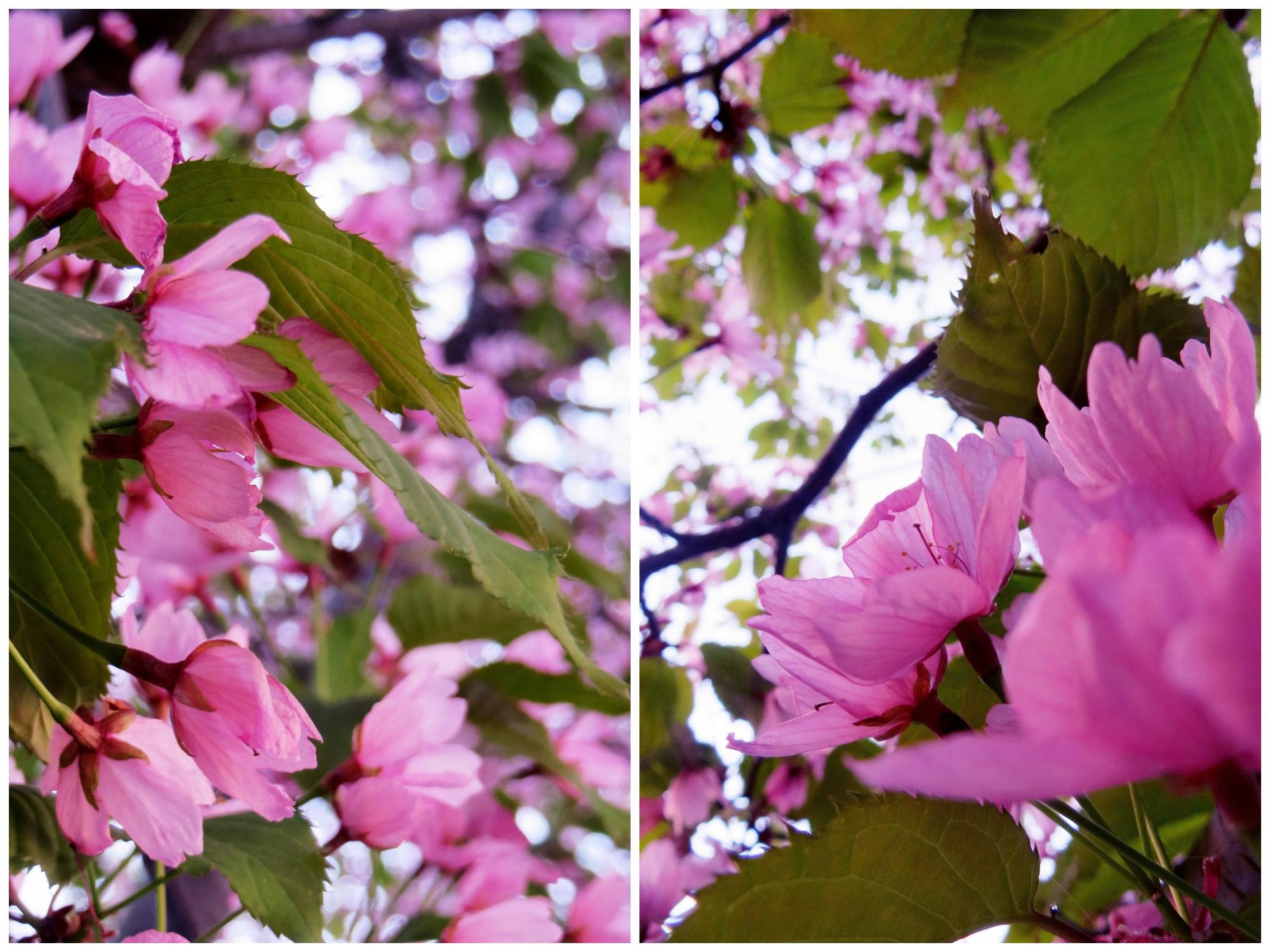 kirsikankukat6