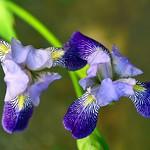 les iris de Ruthénie