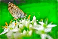 秋日的小灰蝶