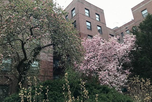 金, 2018-04-27 14:35 - Magnolia モクレン Crabapple クラブアップル