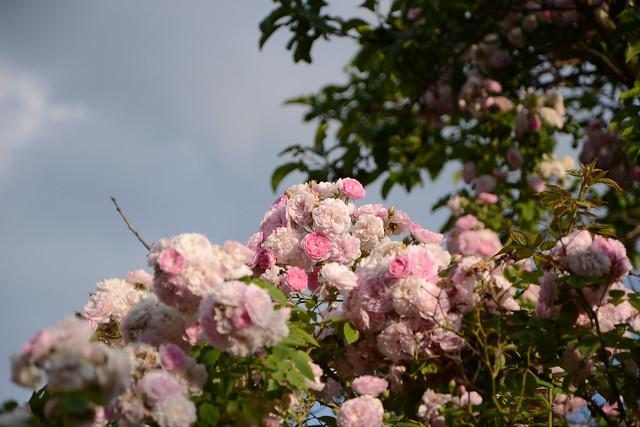 les jardins sont beaux en mai ! - Page 6 28402944718_b655f55f81_z