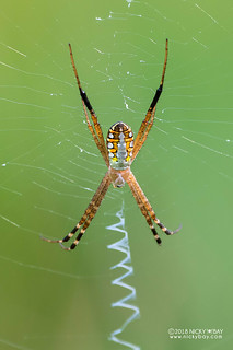 Silver zigzag spider (Argiope catenulata) - DSC_0329b