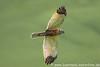 Rohrweihe  fliegt die Wiese nach Nahrung ab