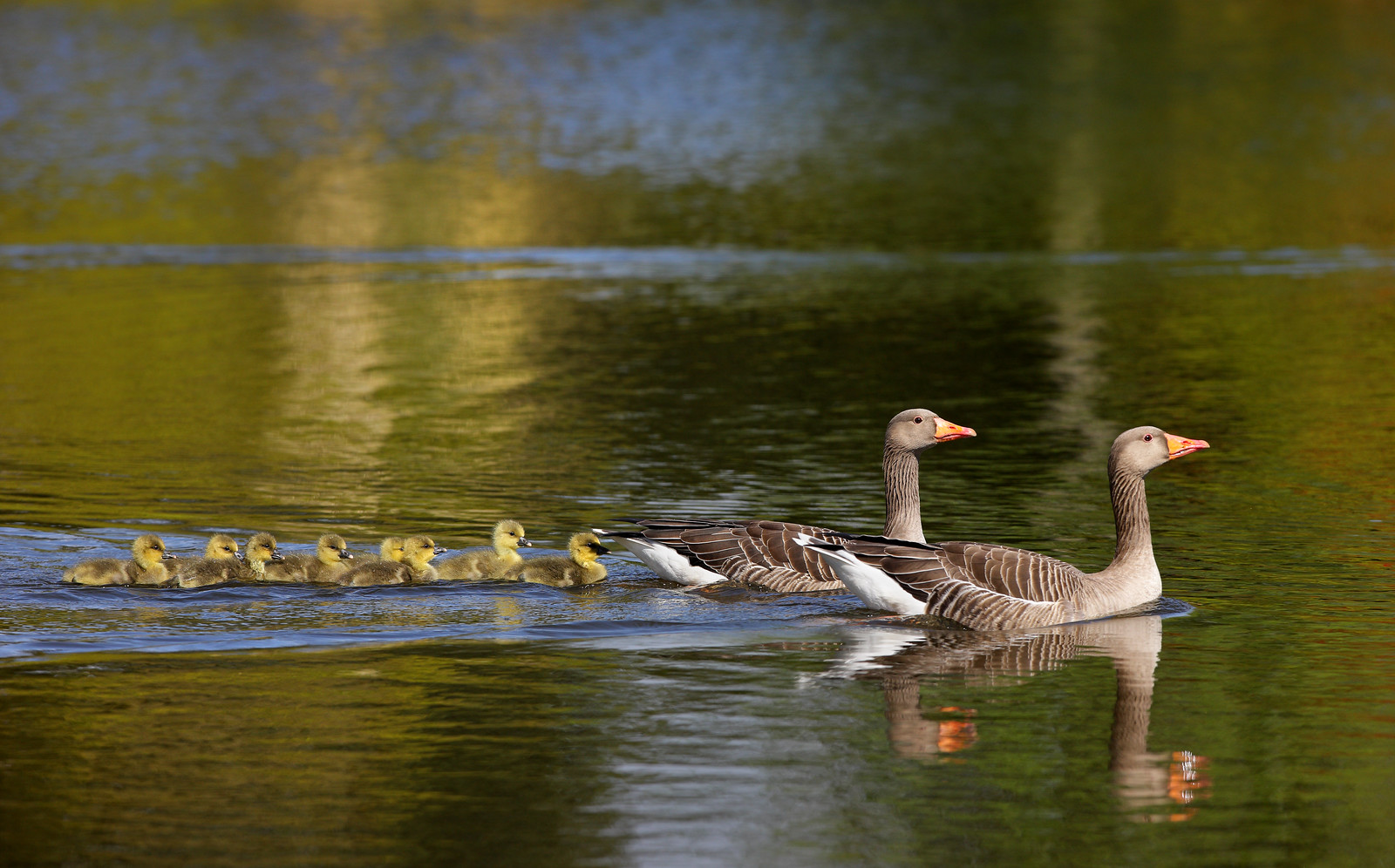 Family of Greylag Geese