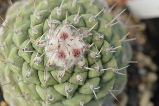DSC_7985 Strombocactus disciformis ストロンボカクタス 菊水
