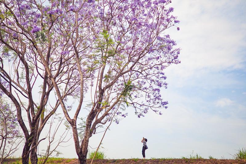 藍花楹|Chiay