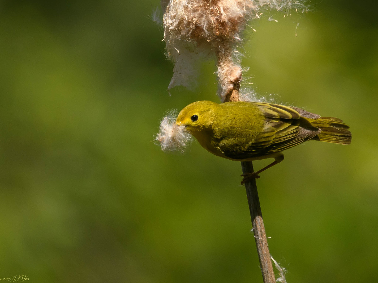 Yellow Warbler gathering cat tail fluff
