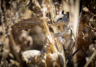 Juvenile California Ground Squirrel (Otospermophilus beecheyi) climbing dead thistles | by Wade Tregaskis