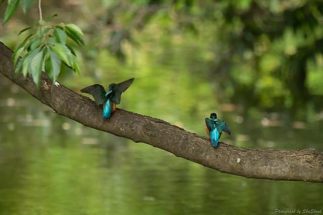 20180516-kingfisher-DSC_2348