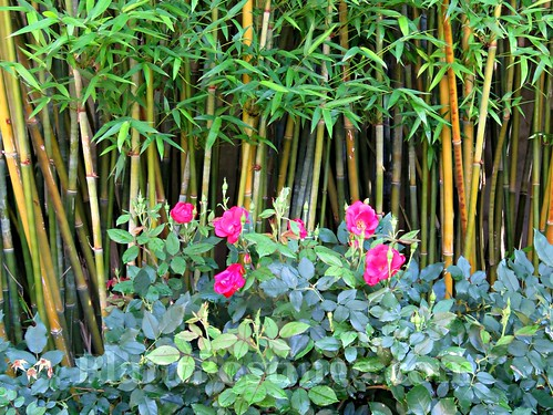 roses and bamboo