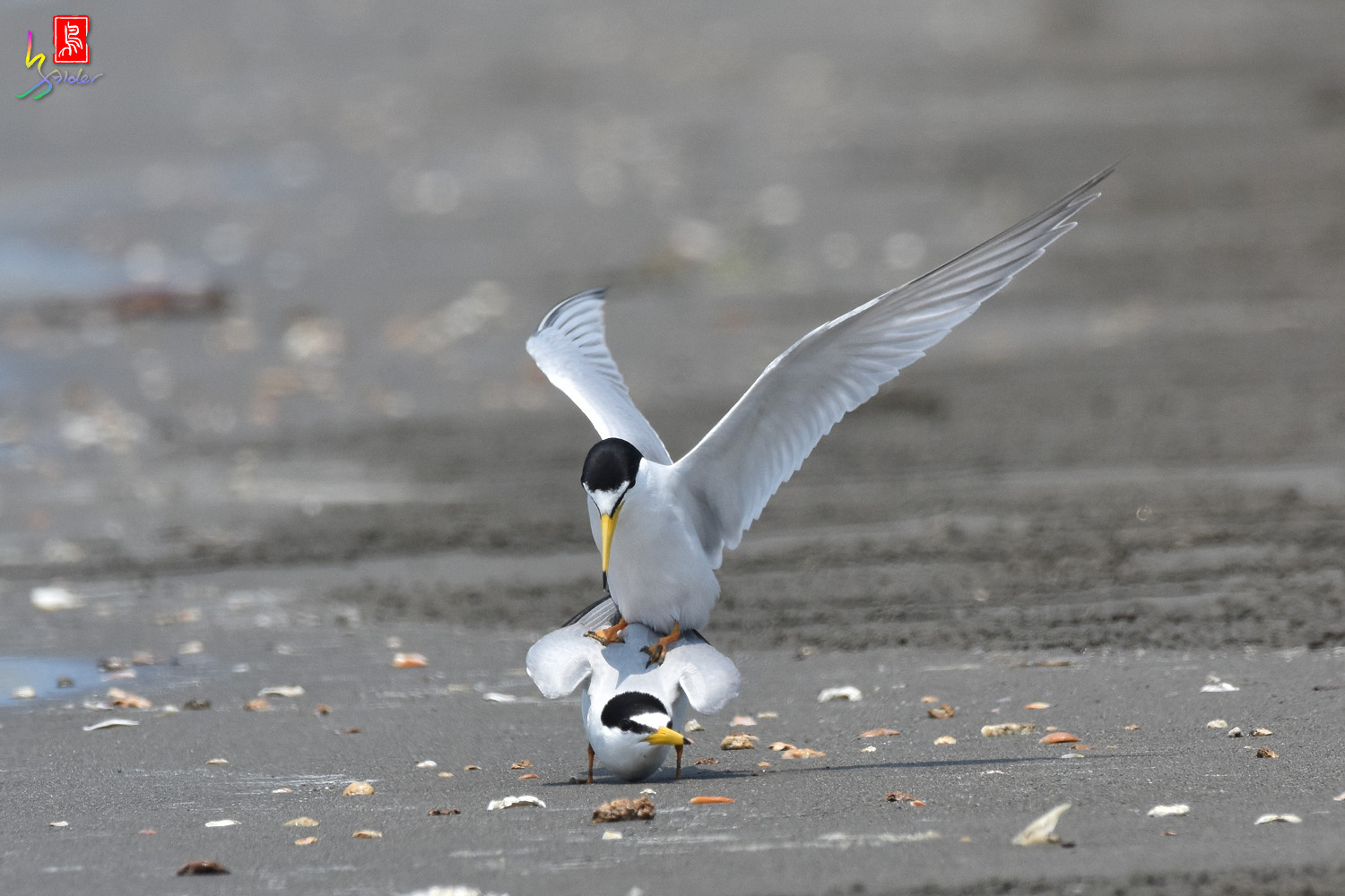 Little_Tern_4870