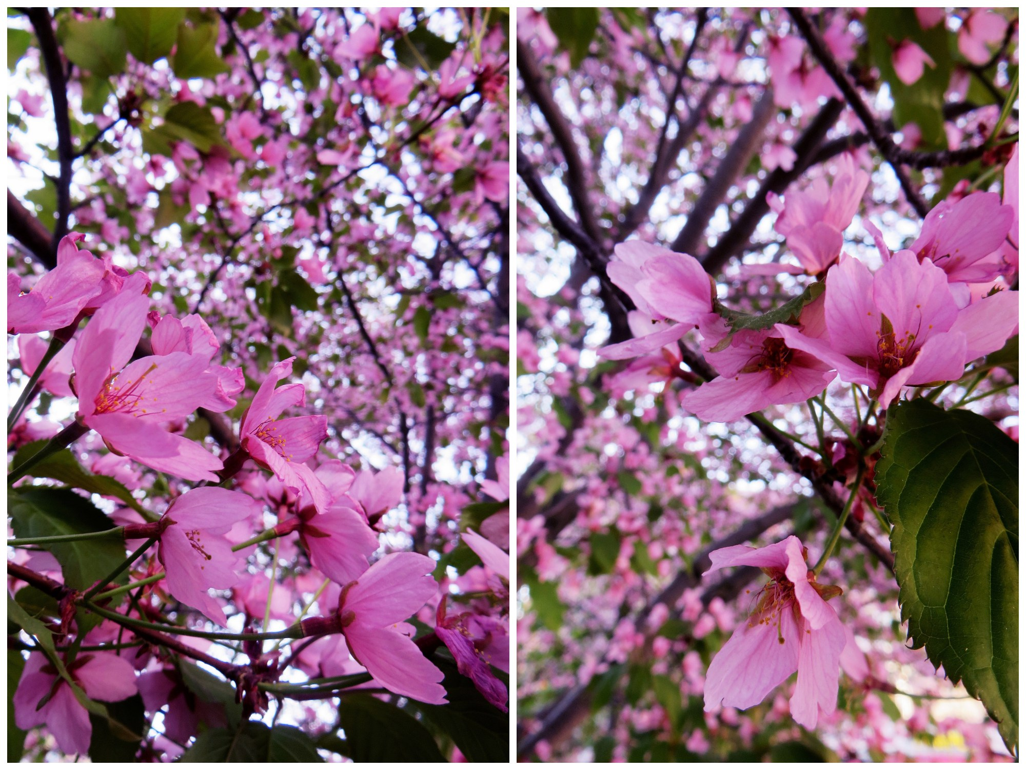kirsikankukat3