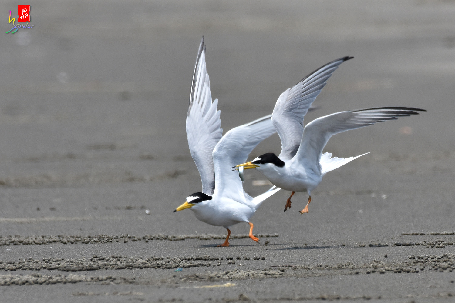 Little_Tern_4936