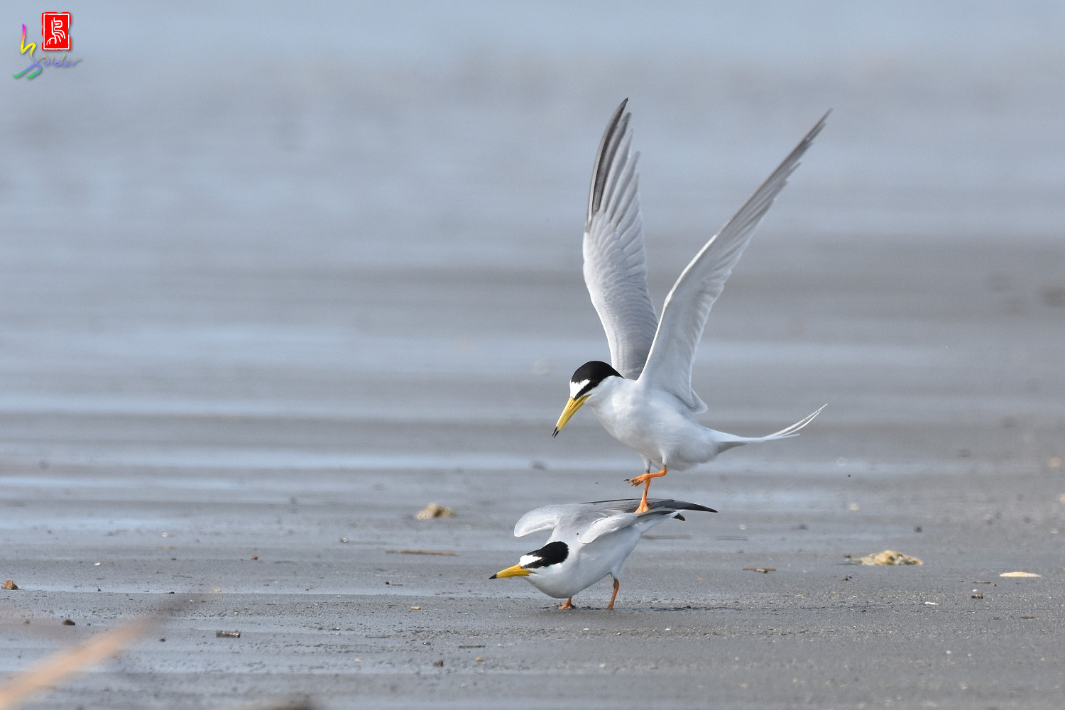 Little_Tern_4388