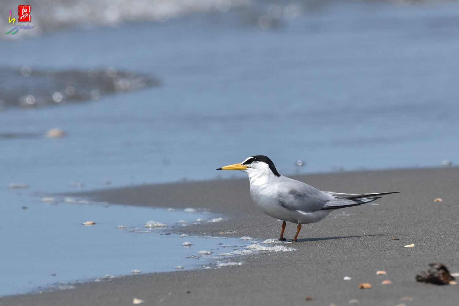 Little_Tern_4957