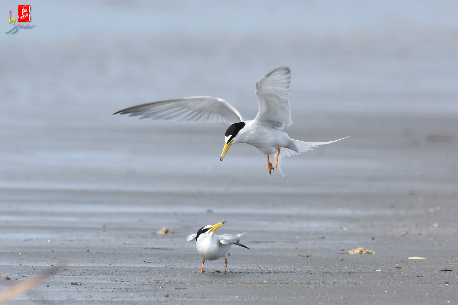 Little_Tern_4403