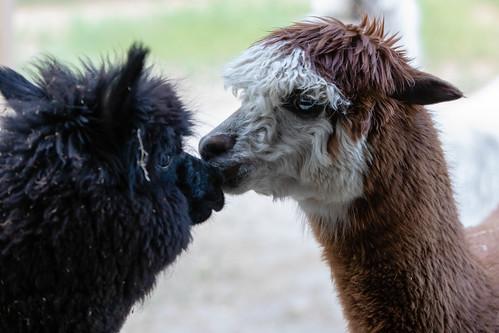 alpaca kiss