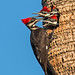 Pileated Woddpeckers (in explore) by D. C. Peters