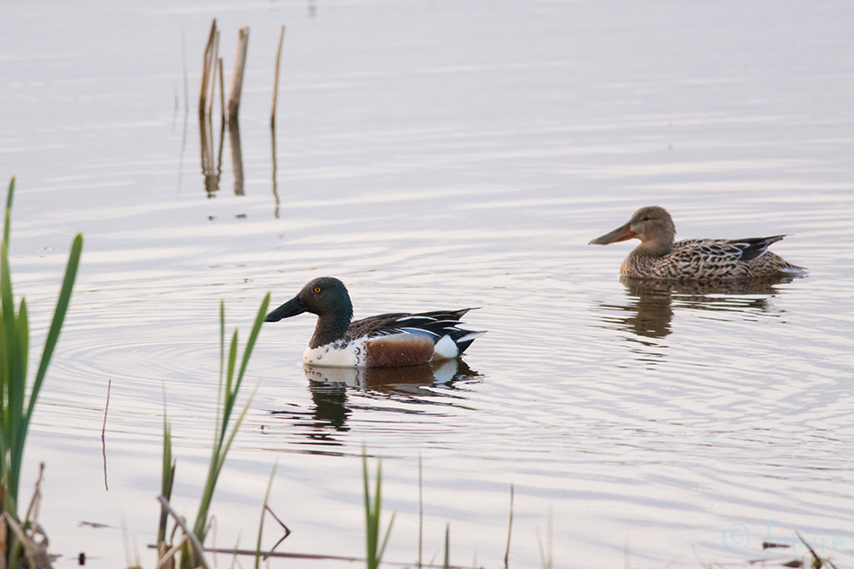 Luitsnokk, part, Anas, clypeata, Spatula, Northern, Shoveler, Shoveller, European, Common, Estonia, Kaido Rummel