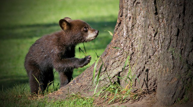 Wet Spring Cub Heads Up The Oak(300.0 mm)