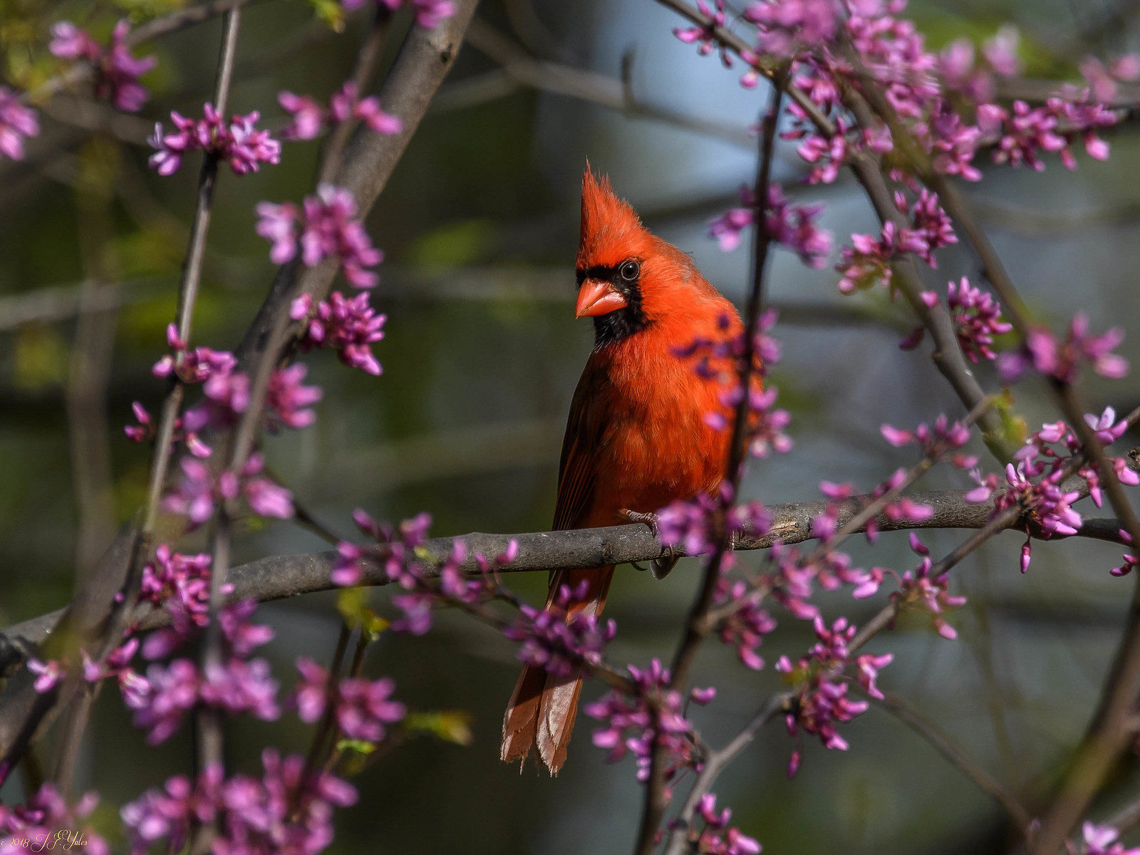 Northern Cardinal in Red bud tree