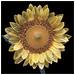 Sunflower ( ii ) by devo2001