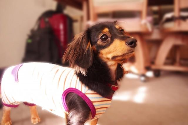 地震への備えとしての予備の服を着ている犬