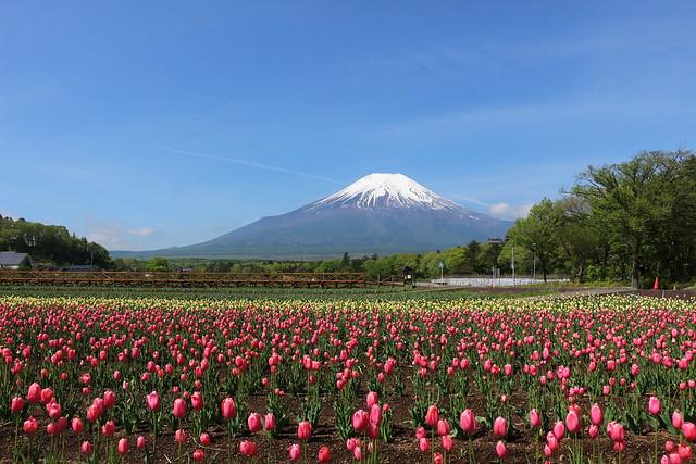富士山とチューリップ畑