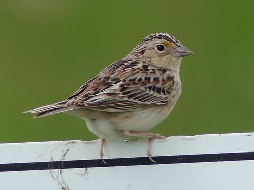 Grasshopper Sparrow 02-20180515
