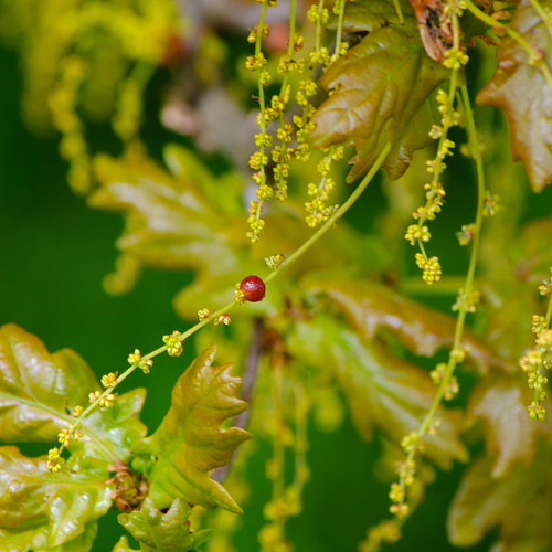 Currant gall on oak catkins
