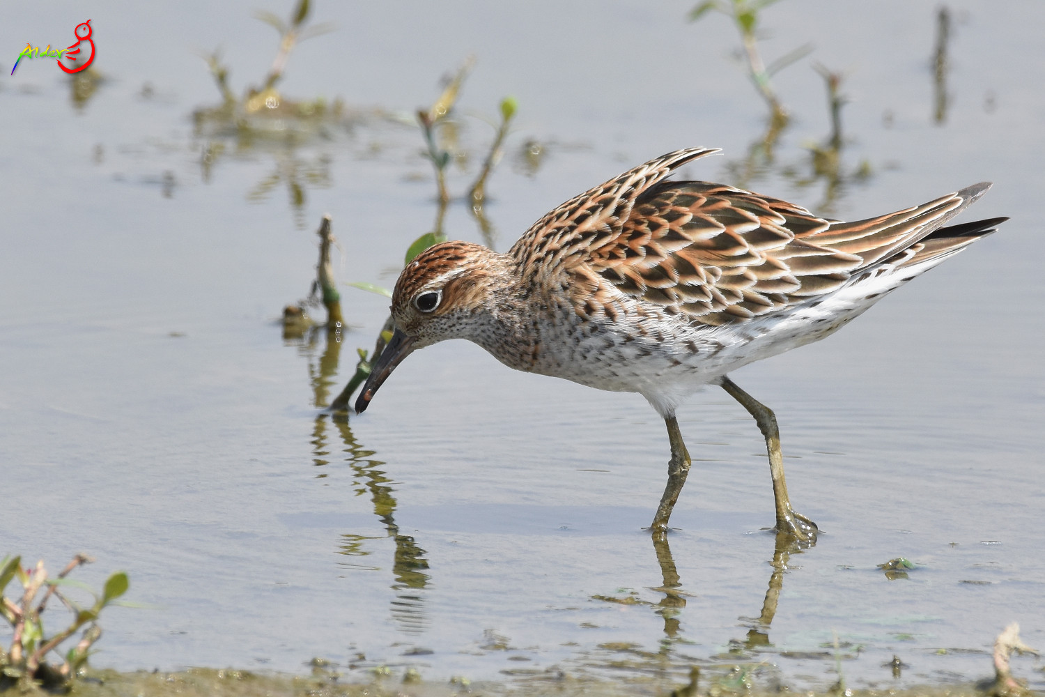 Sharp-tailed_Sandpiper_5534