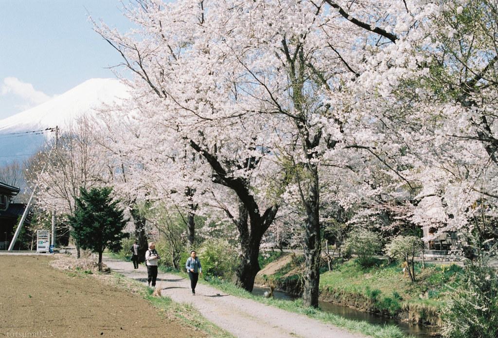2018-05-20 新名庄川の桜 003