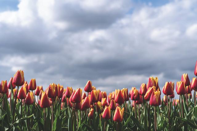 Tulips 🌷