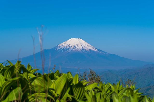 バイケイソウと富士山