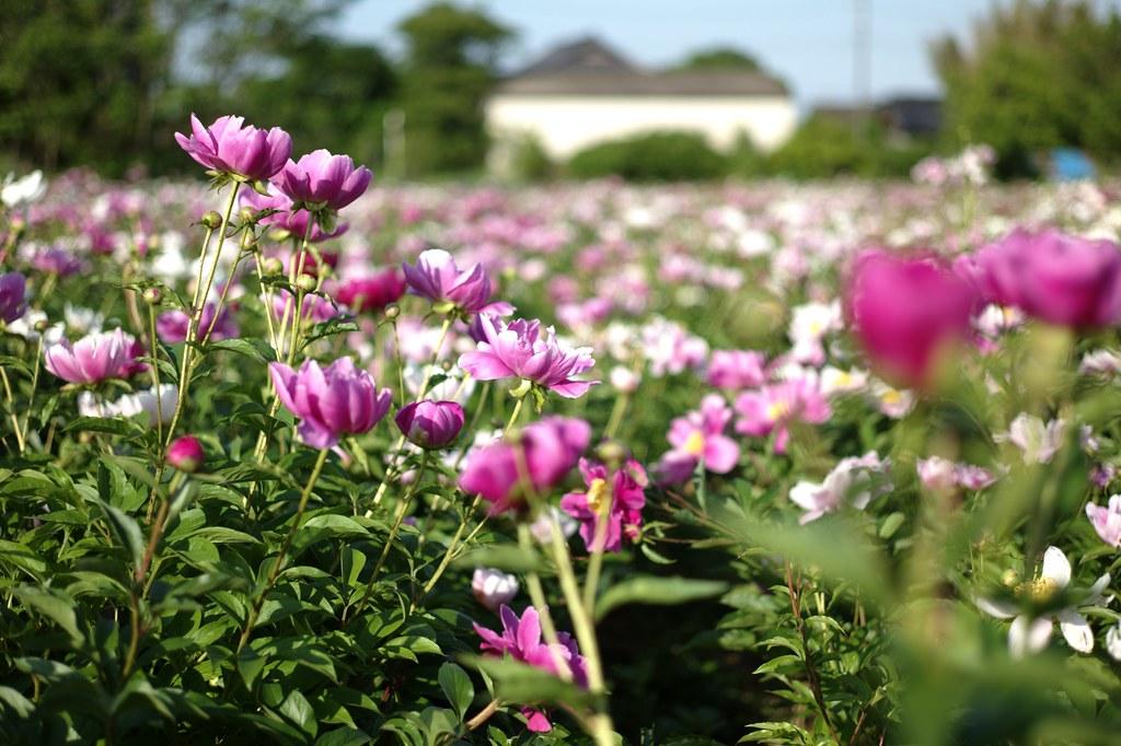 Peony Garden