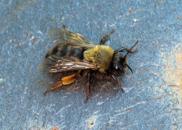 Clarke's Mining Bee - Andrena clarkella