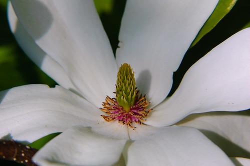 Magnolia flower (close-up)