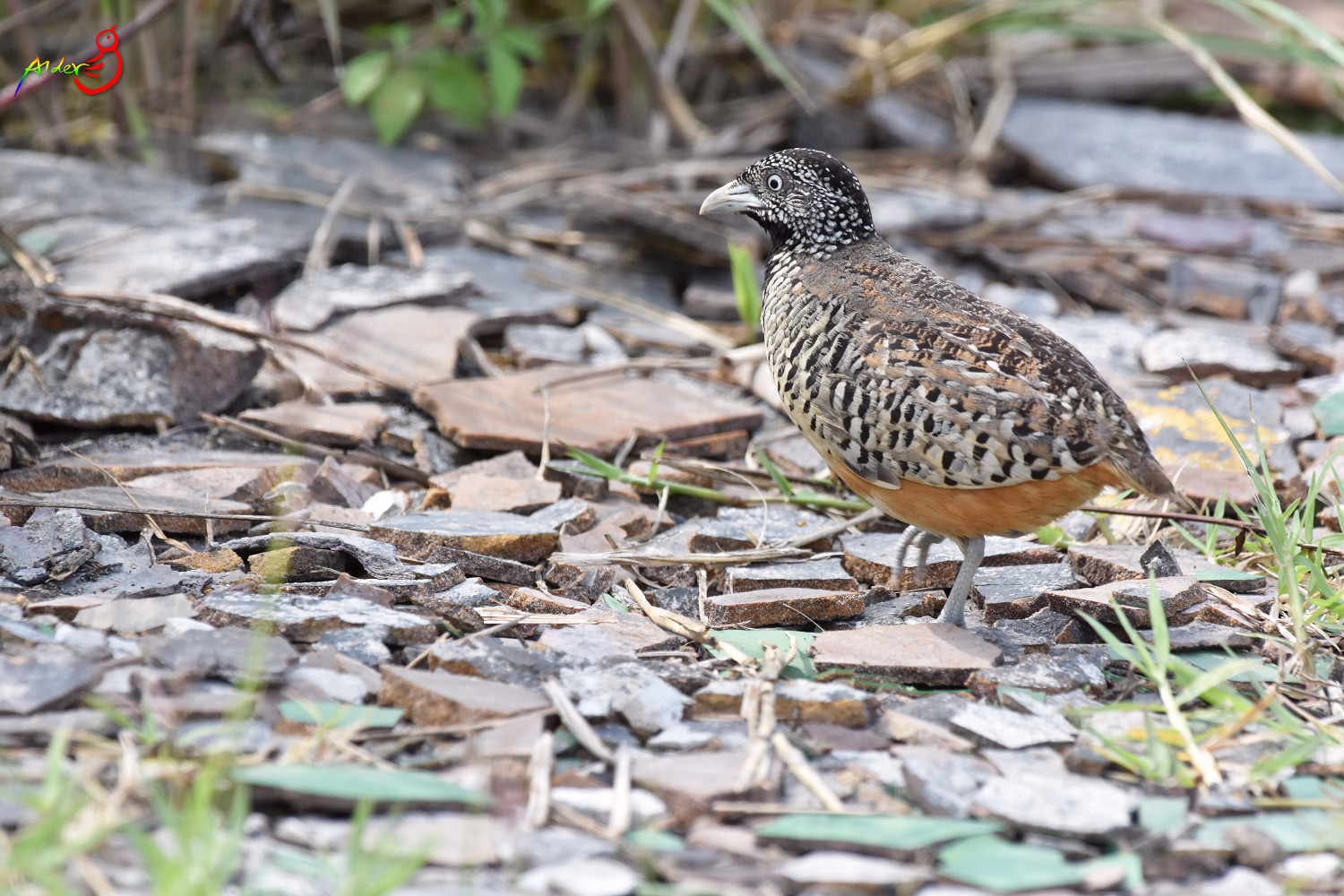 Barred_Buttonquail_4983