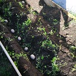 rocket potato planting in Sunny big bed by shiny