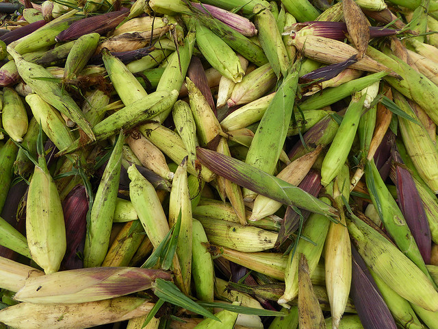 Harvested corne as a part of a food resilience project in the South West Pacific