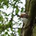 Mandarin Duck in Weald Country Park