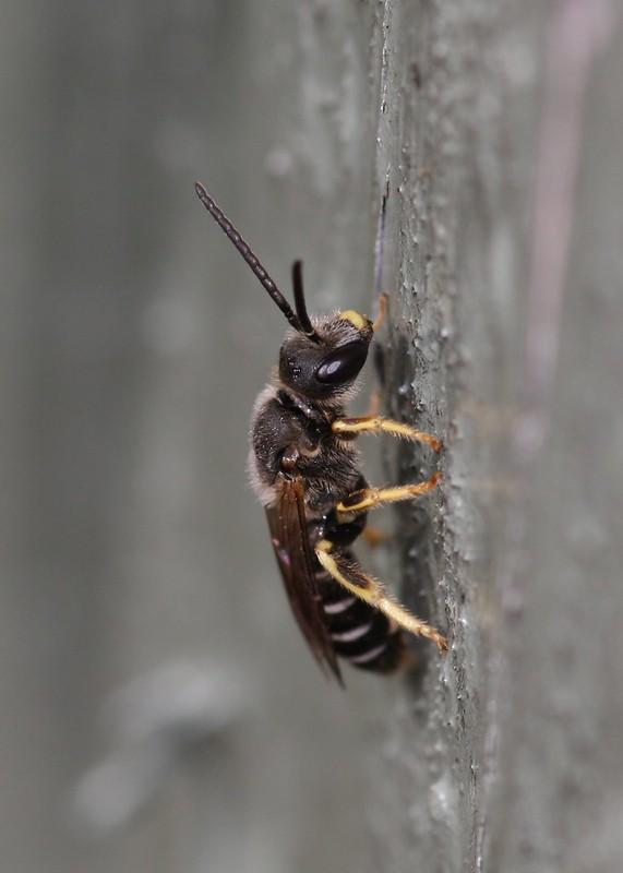 Little sweat bees