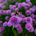 Bees in the Onion Flowers 6024