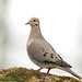 Mourning Dove by Angie Vogel Nature Photography