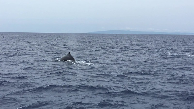 whale tail in Maui