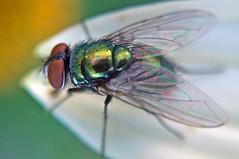 Common Green Bottle Fly (Lucilia sericata); Mount Rainier, PGC, Maryland; June 29, 2014