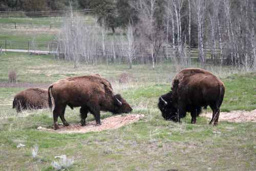 National Bison Range - Bison
